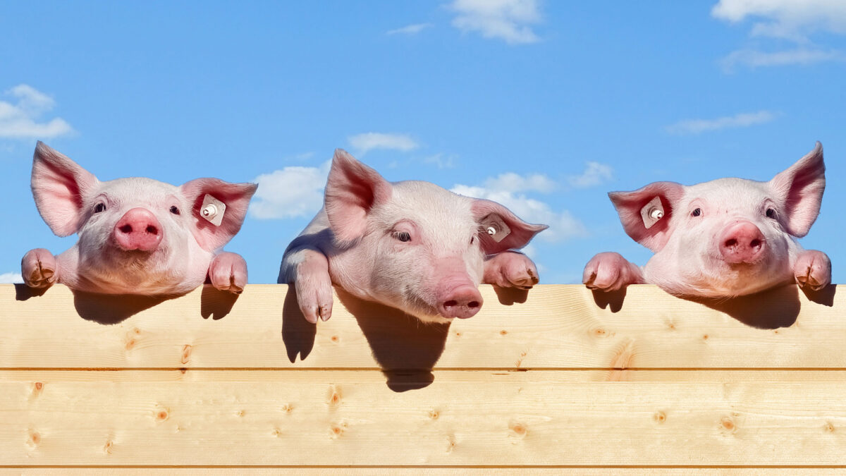 Pigs looking over fence