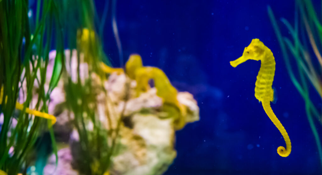 Yellow Sea horse in water